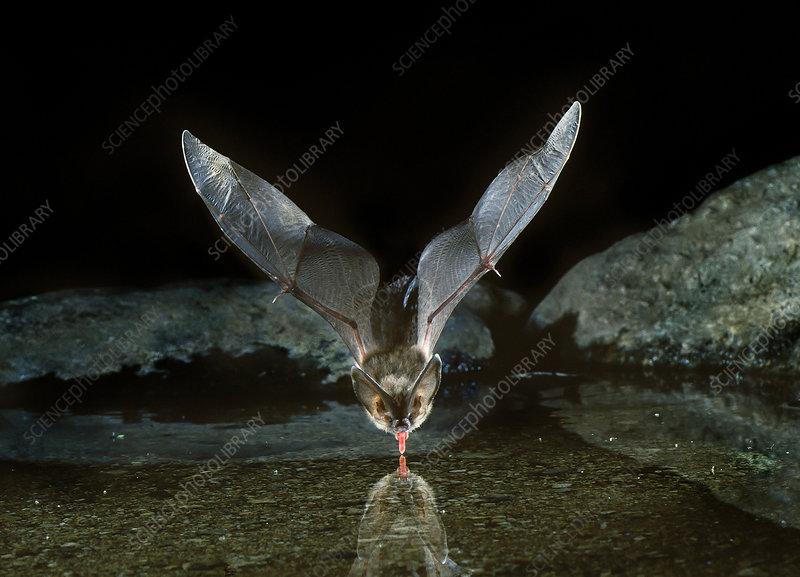 Townsend's big-eared bat (C. townsendii)