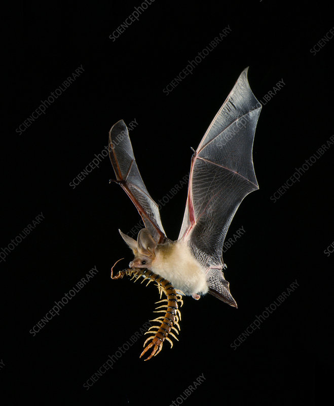 Pallid bat with centipede