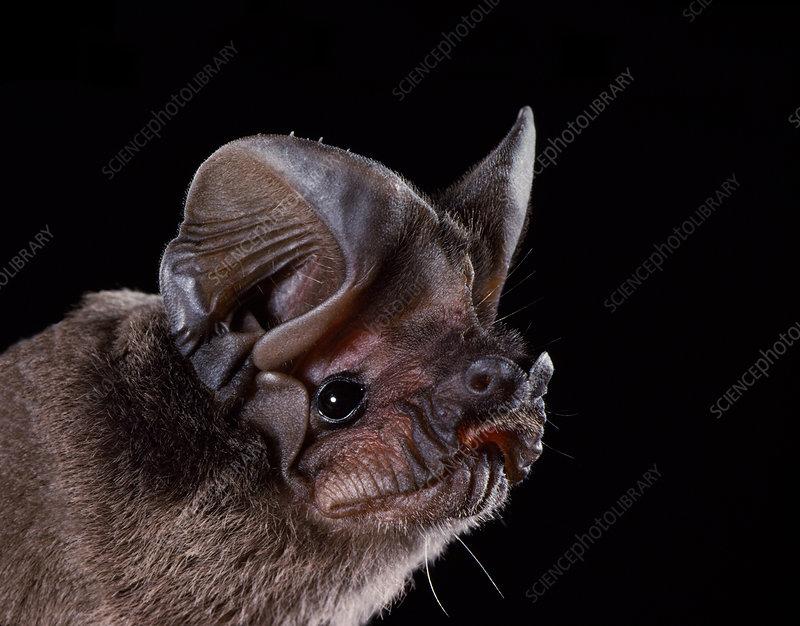 Pocketed free-tailed bat (N. femorosaccus)