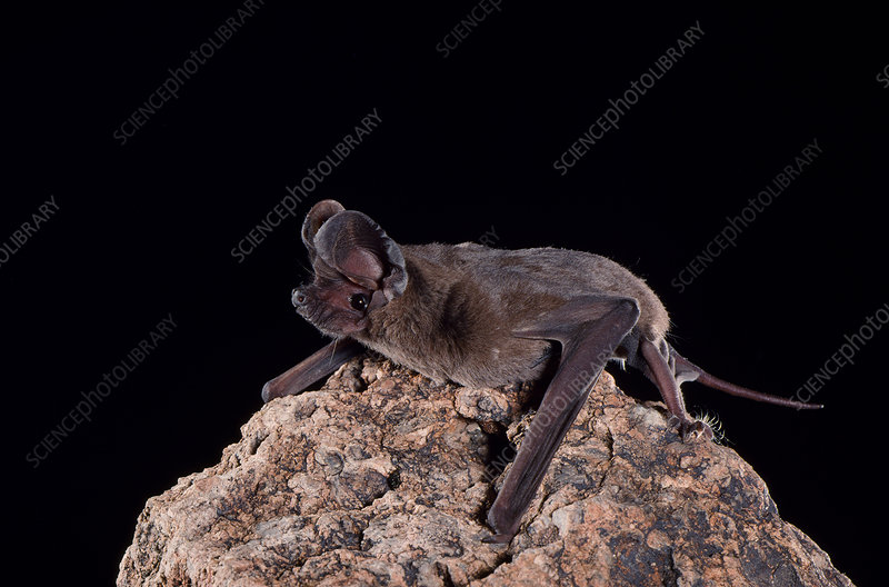 Pocketed free-tailed bat (N. femorosaccus)