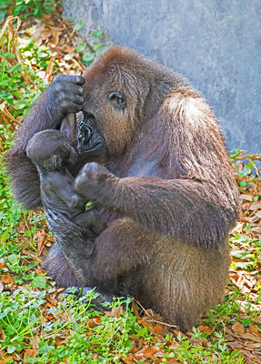 Western Lowland Gorilla Mother with Baby