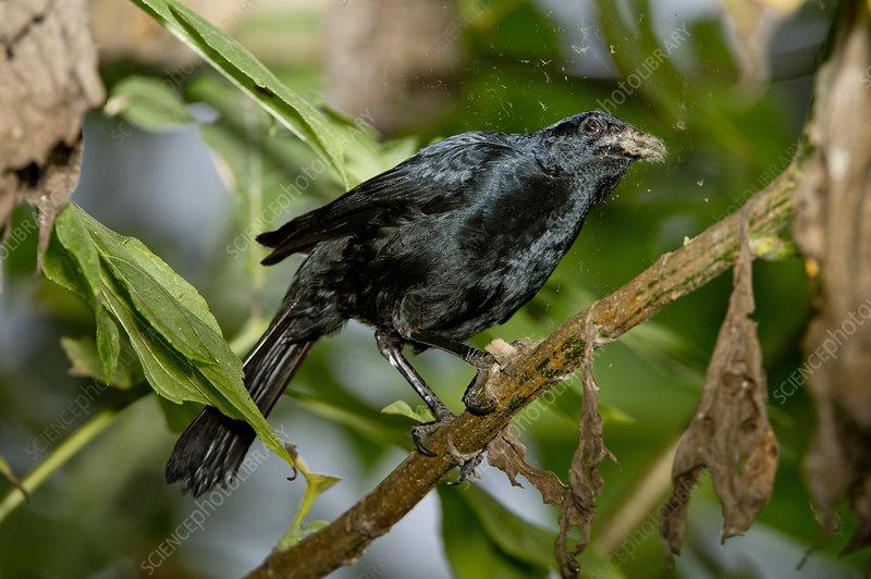 Scrub Blackbird Eating Moth