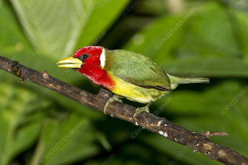 Red-headed Barbet