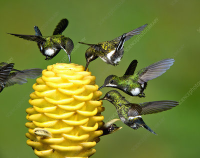 Green Thorntail Hummingbirds