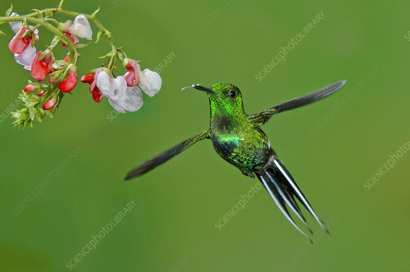 Green Thorntail Hummingbird