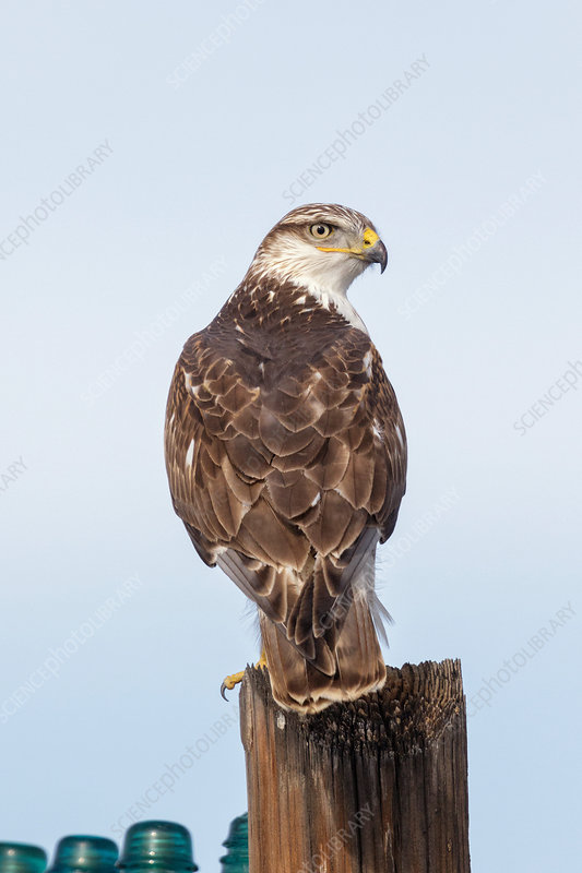 Ferruginous Hawk (Buteo regalis)