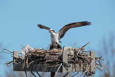 Mating Osprey