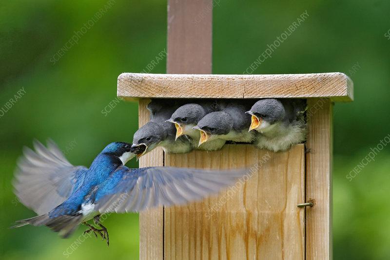 Tree Swallows (Tachycineta bicolor)