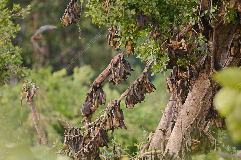Fruit Bats Roosting, Kasanga Swamp, Zambia