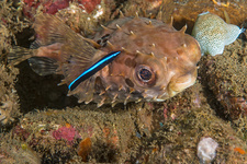 Burrfish and Cleaner Goby