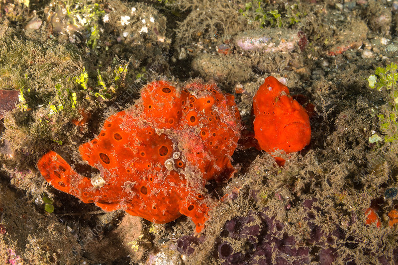 Painted frogfish, male and female