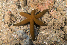 Luzon Sea Star