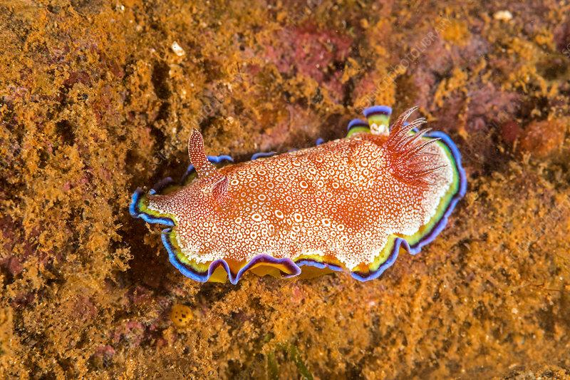 Goniobranchus Nudibranch