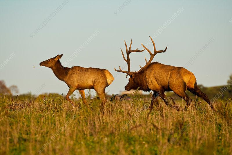 Bull Elk Following Cow