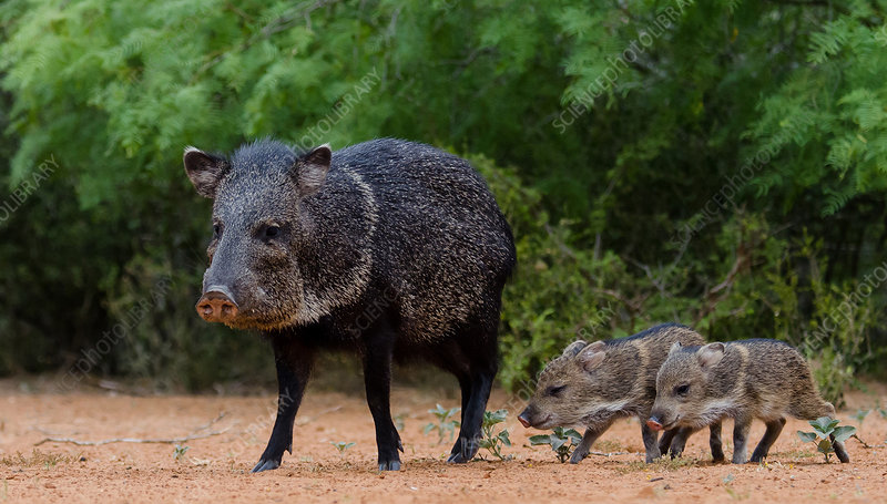 Collared Peccary and Piglets