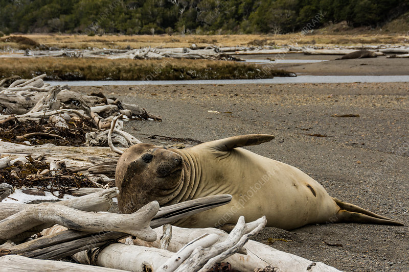 Southern Elephant Seal, Chile