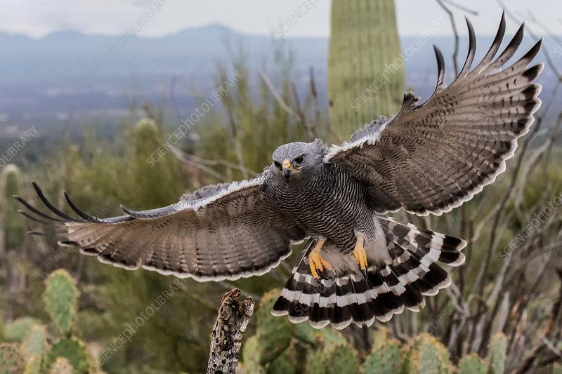 Grey Hawk, Arizona