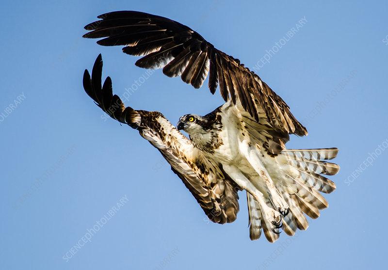 Osprey Flying, Florida
