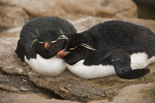 Rockhopper Penguin Sleeping