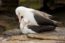 Black-browed Albatross Pair Copulating
