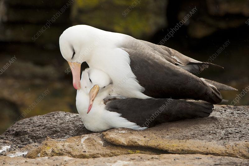 Black-browed Albatross Pair Copulating