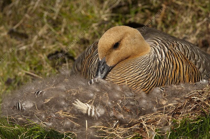 Female Upland Goose Nesting