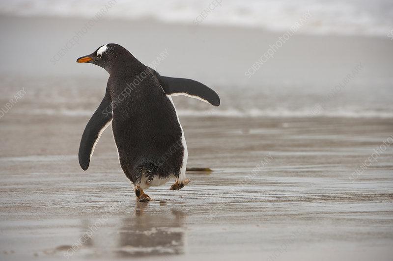 Gentoo Penguin Entering Ocean