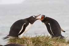 Gentoo Penguins having a Dispute