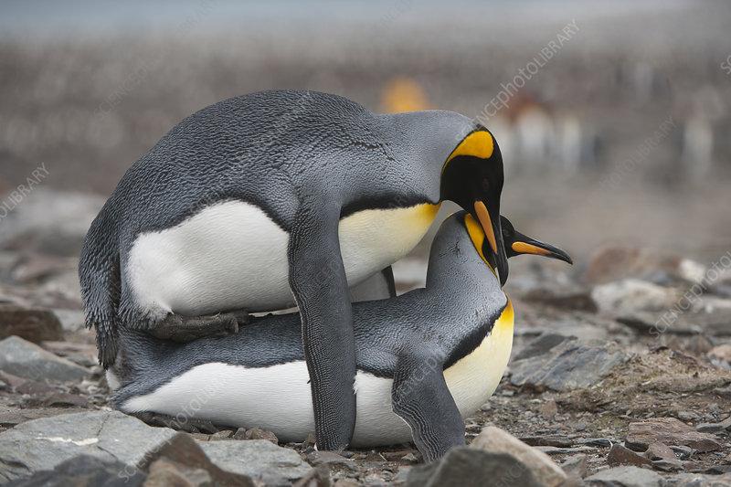 King Penguins Copulating