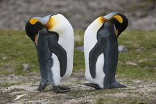 King Penguins Preening