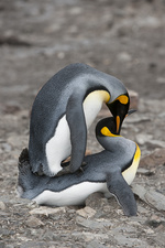 King Penguins Copulating