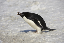 Adelie Penguin Picking up Pebble for Nest