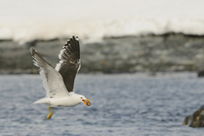 Kelp Gull with Limpet Pried off Rock