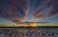Snow Geese on Large Pond at Sunrise
