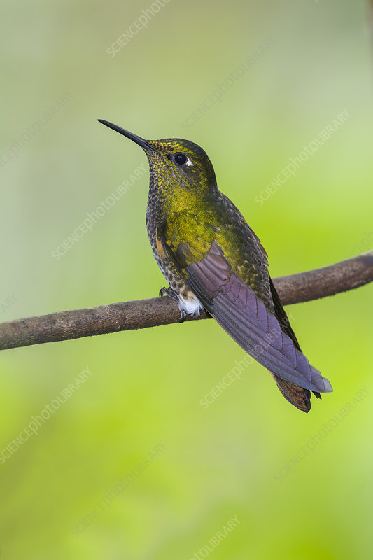 Buff-tailed Coronet Hummingbird