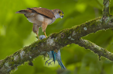 Tiny Hawk, having Taken a Blue-Grey Tanager