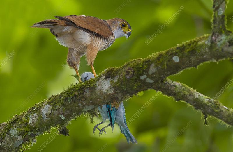 Tiny Hawk, having Taken a Blue-Grey Tanager