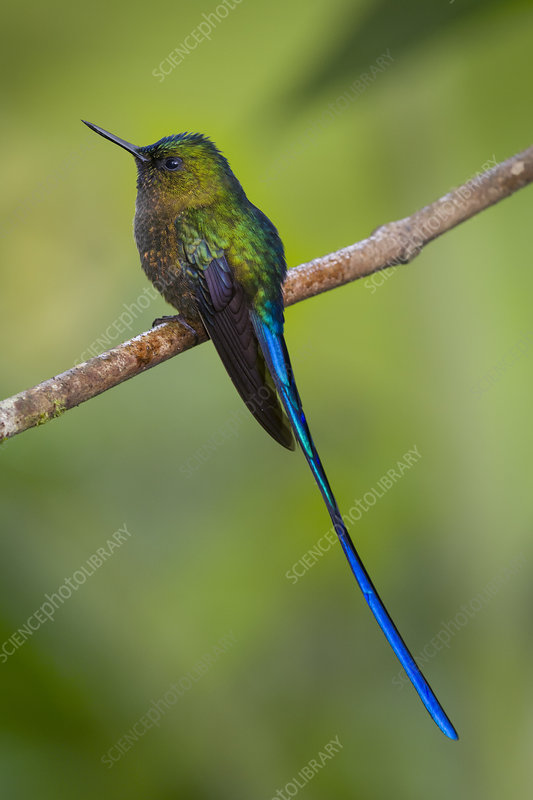 Violet-Tailed Sylph Hummingbird
