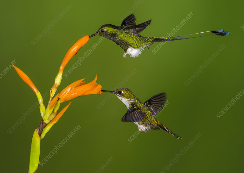 Booted Racket-Tail Hummingbirds