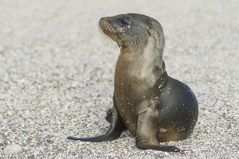 Galapagos Sea Lion Pup on Beach