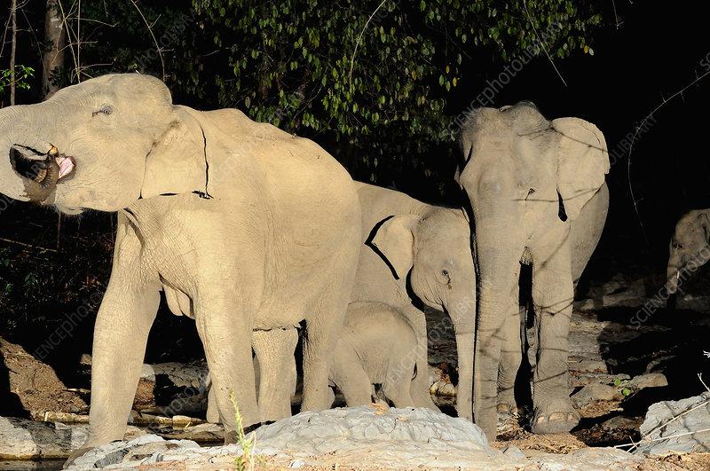 Group of Wild Asian Elephants