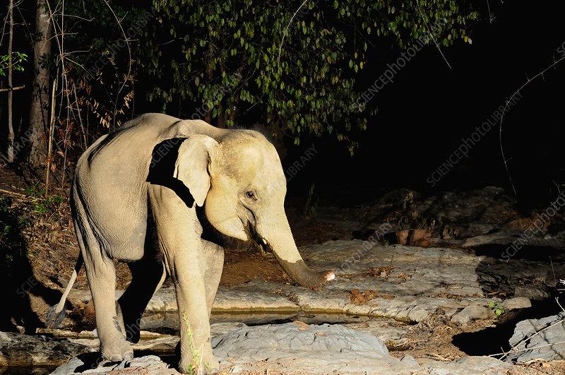 Baby wild Asian Elephant