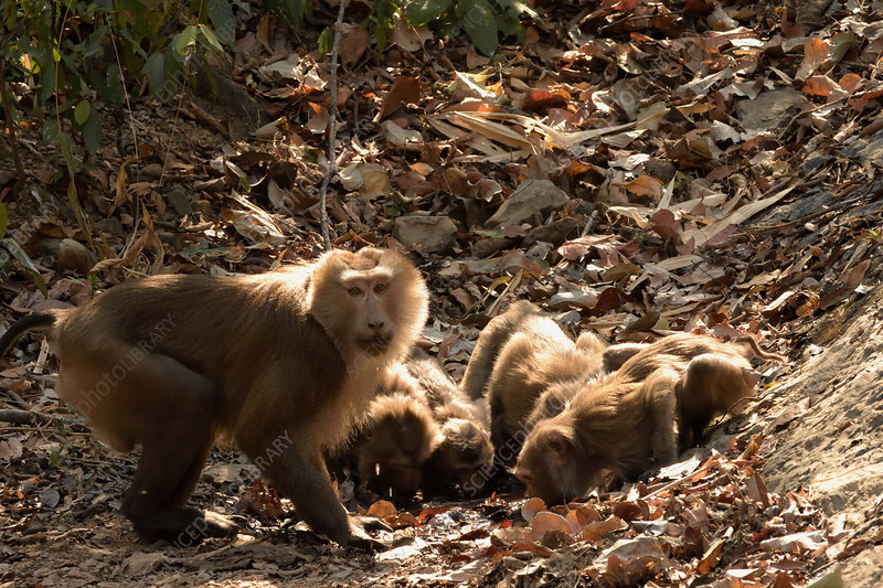 Pig-tailed Macaques Drinking