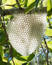 Natural honey comb built by honeybees