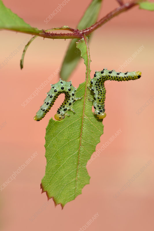 Large rose sawfly larvae