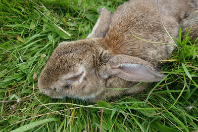 Rabbit with Myxomatosis