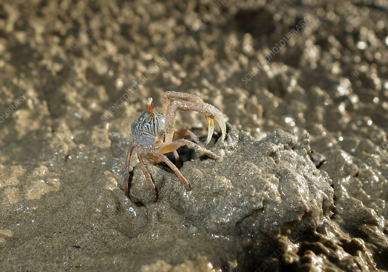 Sand Bubbler Crab