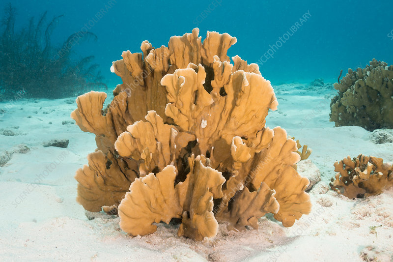 Blade Fire Coral