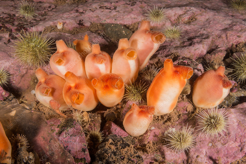 Sea Peaches