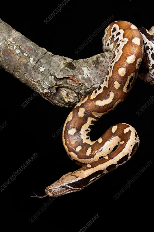 Blood python (Python brongersmai) on branch